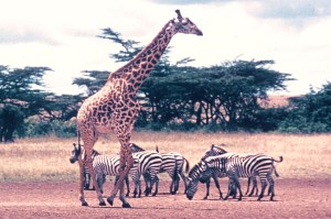 Great herds in the Masai Mara
