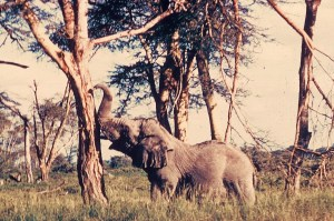 A lone old bull in the Serengeti